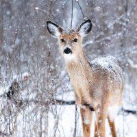 biche en hiver sous la neige